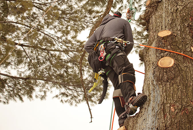 Wyoming Professional Tree Care LLC employee trimming a tree